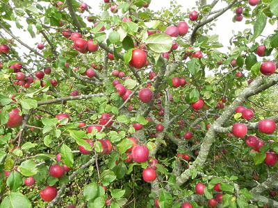 Apple Tree Loaded With Apples