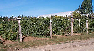Grape arbor foliage - Aug. 30, 2001