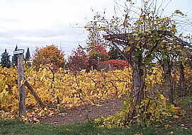 Vineyard in October, 2001