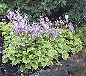 Golden Tiara Hosta - July 31, 2001
