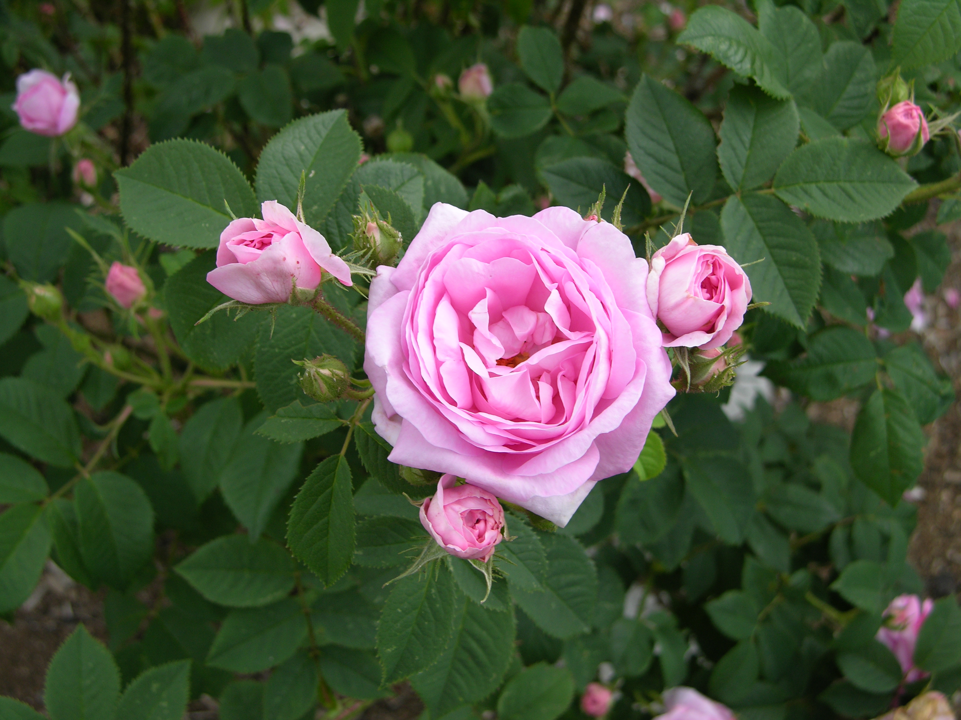 Lavender Thornless Rose Bush Image Of Bear And Rose