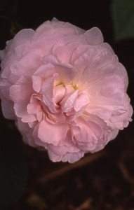 Chloris Rose
