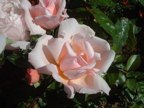 Image result for albertine rose