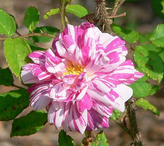Stripped Moss Rose