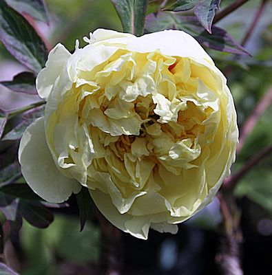 Peony 'Yellow Crown'