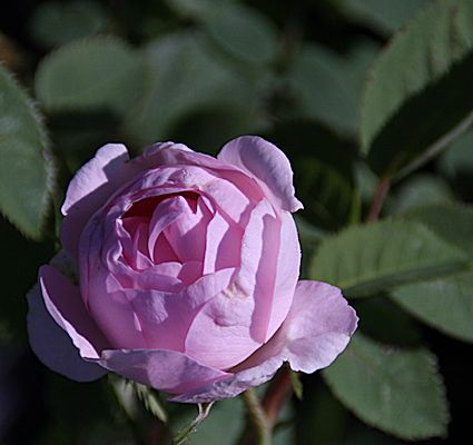 Maiden's Blush Rose