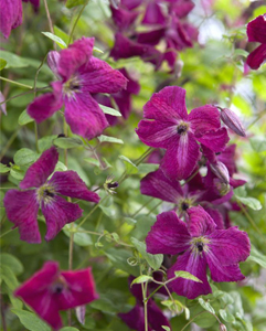 image of clematis