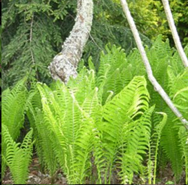 image of ferns