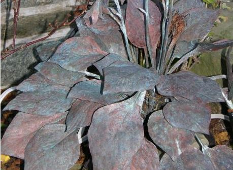 Copper hosta